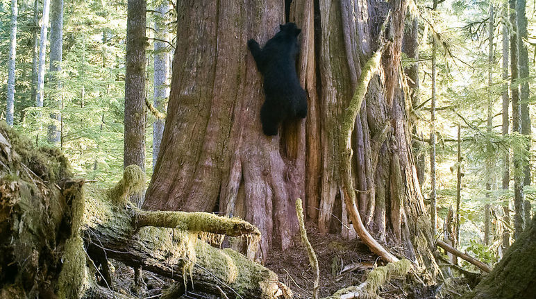 En Canadá talan árboles de 500 años: ¡protejan los bosques! - Salva la Selva