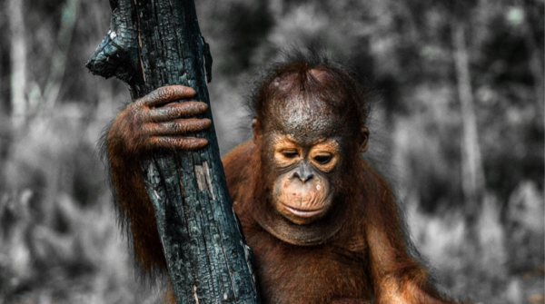 Baby orangutan con árbol quemado