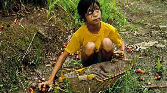 Niña trabaja en plantaciones de palma aceitera