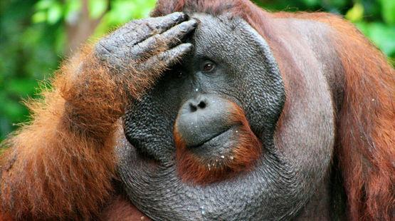 Grandes simios: queremos protegerles