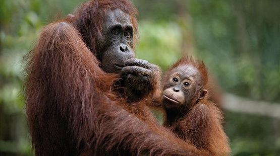 Hembra orangután con cría