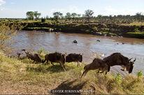 Ñus en el Serengeti